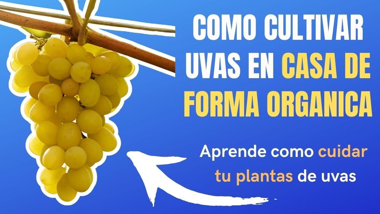 ✅tutorial como cultivar uvas en casa de forma sencilla, mejor metodo🍇