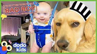 Can A Big Bad Dog Become the Best Big Brother? | Animal Videos For Kids | Dodo Kids