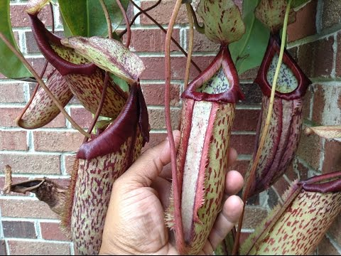 Giant Nepenthes carnivorouspitcher plant