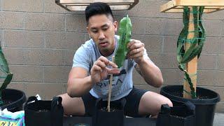 How to Plant Drągon Fruit Cuttings