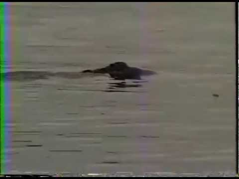 Right Whale in Delaware River, 1994