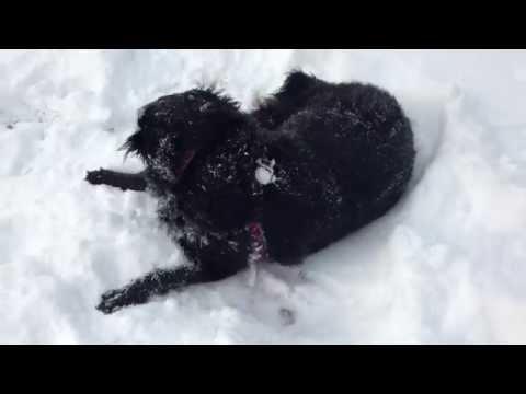 Cute Lab Chow Dog playing in snow. Winter in Omaha, Nebraska