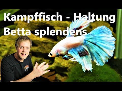 Kampffisch - Betta Splendens - Haltung Der Hochzuchtform