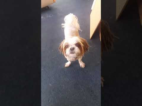 Shih-tzu wash your face