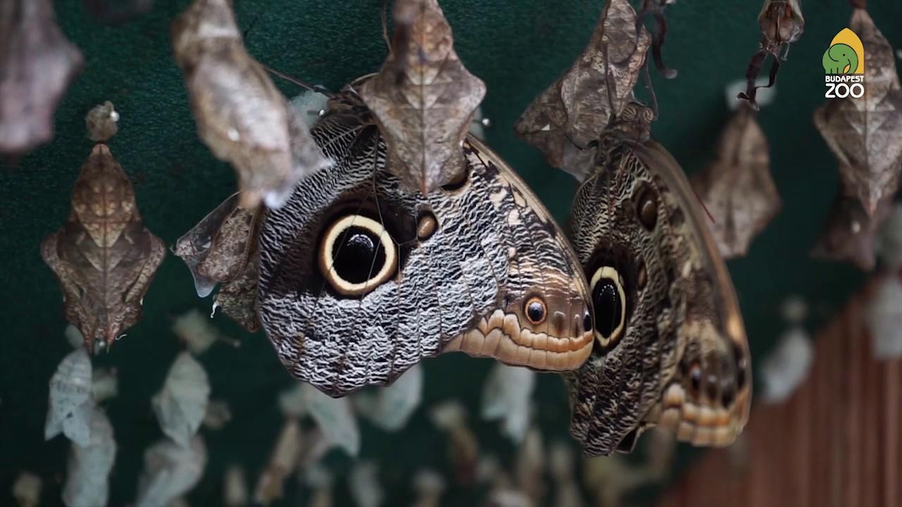 Parazita lepkék kezelése, Pillangó hol lehet eltávolítani a szemölcsöket