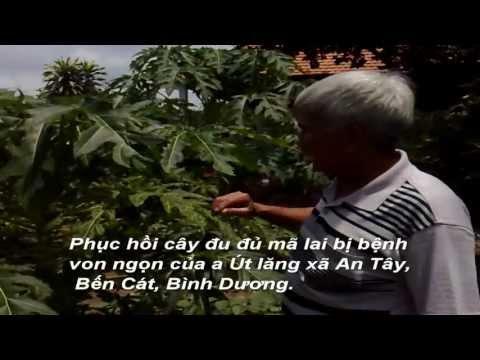 Phục hồi cây Đu đủ bị bệnh khảm xoăn lá - Phân bón Sinh Học Thiên Phú