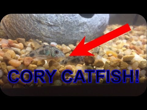 NEW FISH?! BUYING CORY CATFISH For My AQUARIUM!