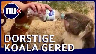 Uitgedroogde koala krijgt water te midden van bosbrand | NU.nl