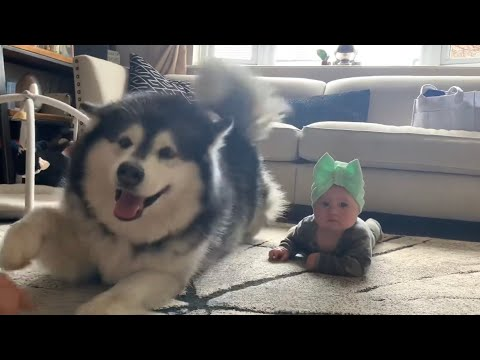 Giant Fluffy Malamute Teaches Baby To Crawl (Cutest Video Ever!) from YouTube · Duration:  10 minutes 27 seconds