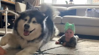 Giant Fluffy Malamute Teaches Baby To Crawl (Cutest Video Ever!)