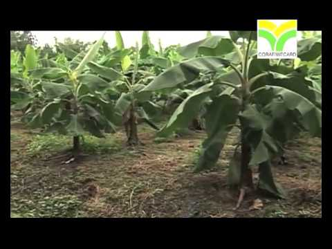 Improvement of banana and plantain productivity in farms of West and Central Africa