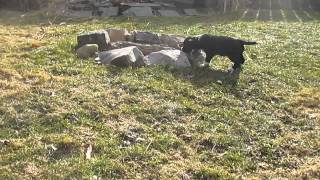 English Springer Spaaniel Cross Puppies For Sale