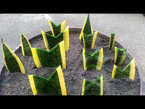 Snake Plant Propagation By Leaf Cuttings with Sand