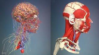 3D Анатомия человека - голова и шея, со стороны