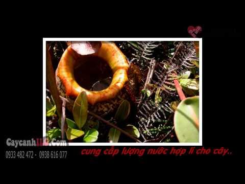 Cây Nắp Ấm (Nepenthes mirabilis (Lour.) Druce.)