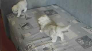 Персидские  шиншиллы, продажа котят. Москва