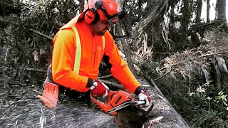 Quick and easy work with a chain saw , Pruning a tree with a chain saw