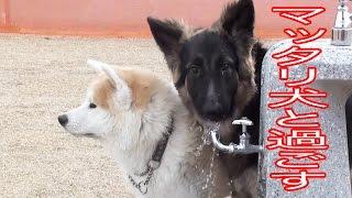 シベリアンアンハスキー犬、秋田犬、ジャーマンシェパード犬 孫娘りりか...
