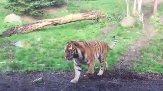 Настоящая тигрица!