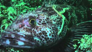 octopus eaten by ling cod trying to ecape thru gills