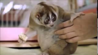 Самое милое в мире животное - лемур
