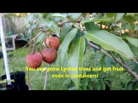 How to grow Lychee trees and get delicious fruit with Jason