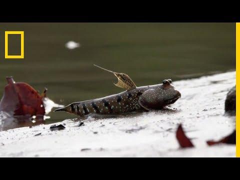 Le périophtalme : le poisson grenouille
