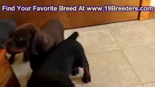 Doberman Pinscher, Puppies, For, Sale, In, Jacksonville,florida, Fl,tallahassee,gainesville,