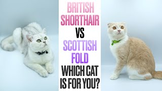 British Shorthair VS Scottish FoldWhich Cat is For You?
