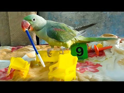Rio The Alexandrian Parrot Playing With Toys