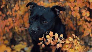 Staffordshire Bull Terrier Yolo | Dog Tricks