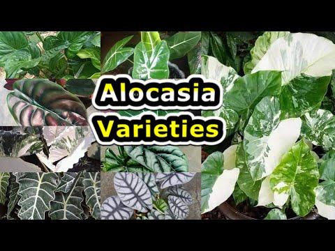 ALOCASIA Varieties, Ornamental Plant