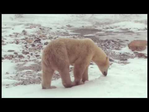 Polar Bears in Churchill - Manitoba, Canada