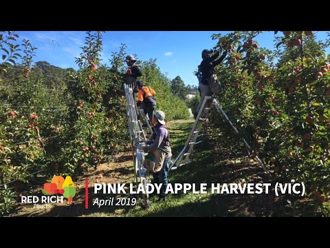 Tree To Table | Pink Lady Apple Harvest 2019, VIC