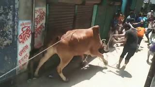 Cow fight, Cow escape, Mad cow of Bangladesh,India,Pakistan