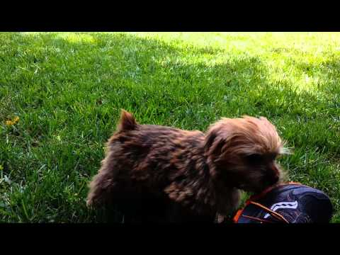 Cutest Norfolk Terrier puppy playing in the grass