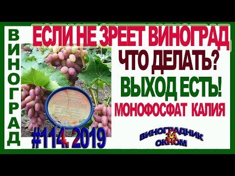 🍇 ЕСЛИ  не ЗРЕЕТ ВИНОГРАД и лоза.  ВЫХОД ЕСТЬ! Применение монофосфата калия на винограде.