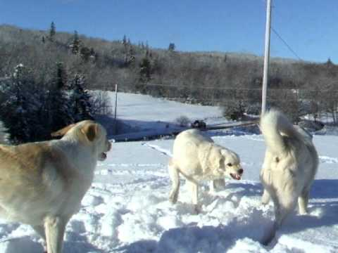 Old Man Farm - Livestock Guardian Dogs tussle in new snow