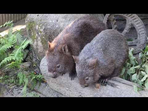 Australia Vlogs: Cairns Day 1 Part 3 (Koalas, Kangaroo, Wallabies, Crocodiles, Wombats, More!)