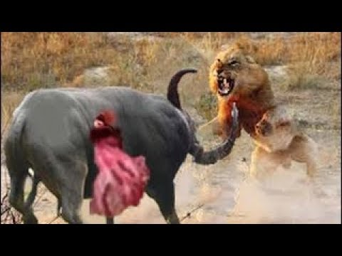 Top Lion Hunting   Crazy Fight Amazing