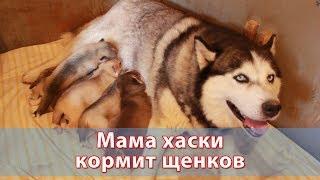 Мама хаски кормит щенков
