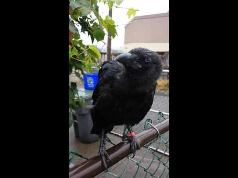 canuck the crow digging the rain youtube. Black Bedroom Furniture Sets. Home Design Ideas