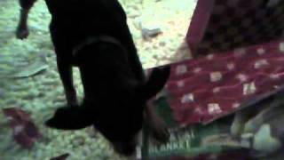 Funny Min Pin Dog Garth Opens His Own Present On Christmas Morning