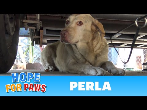 download Yellow Labrador dumped after being used for breeding puppies. Look how happy she is now!