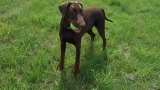 Yazash Red Baron (yazash Dobermann)  Dobermann Puppies Due 2014 Call 07901644993 Uk.