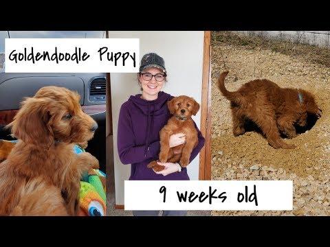 Goldendoodle Puppy 9 weeks old