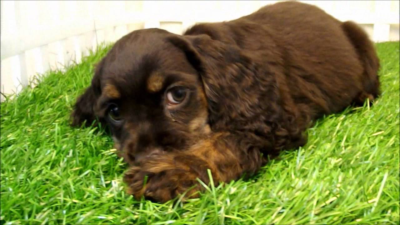 Molly The Chocolate Cocker Spanielwmv Youtube