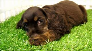 Molly The Chocolate Cocker Spaniel.wmv