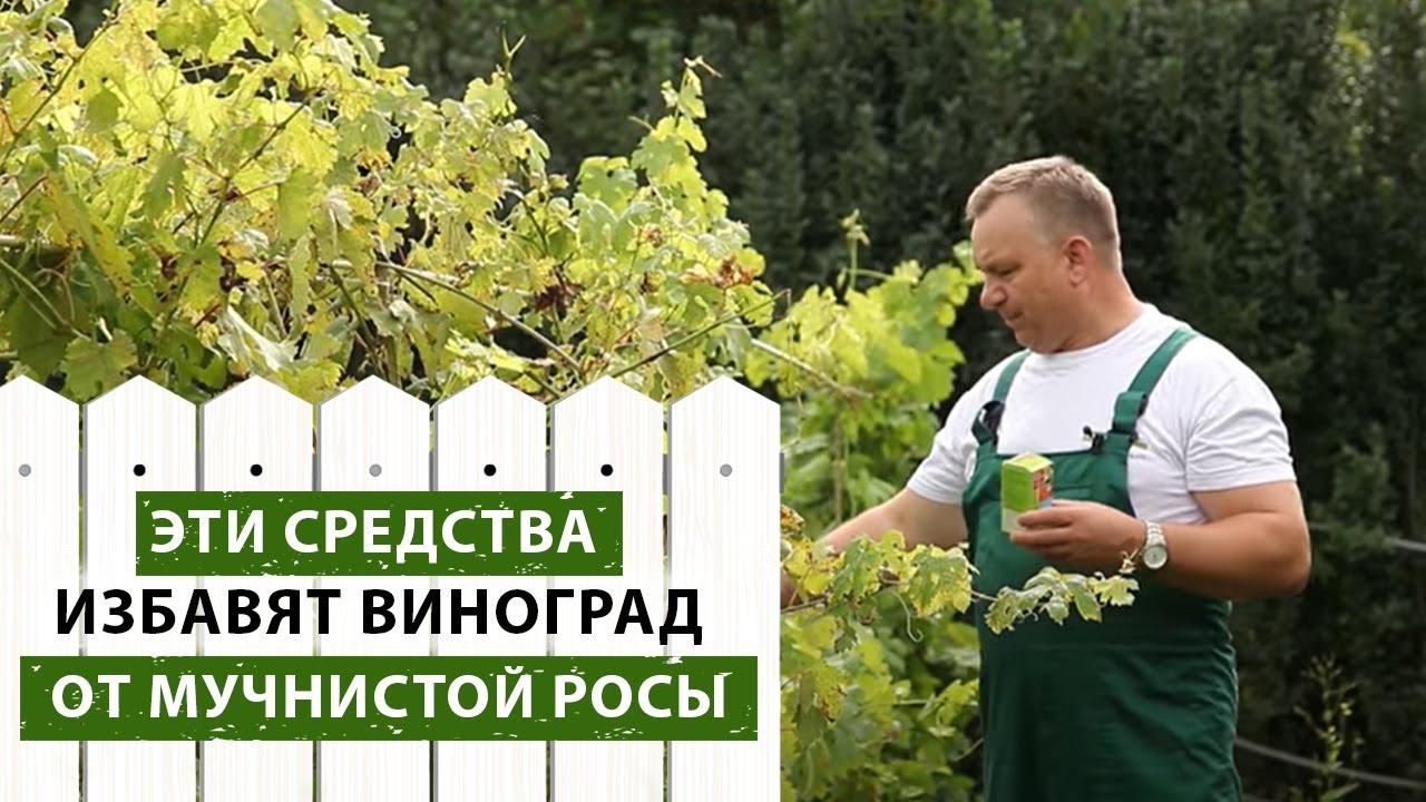 Мучнистая роса на винограде: как бороться, чем обрабатывать и лечить