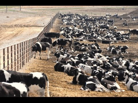 Cows Being Fed Chicken Poop, FDA Not Stopping It